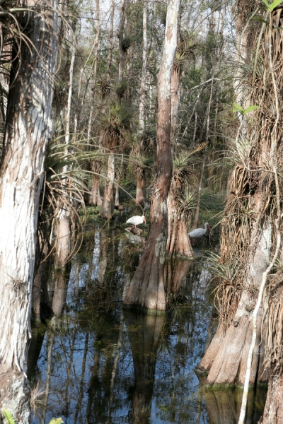 The Brown Ibises are perfectly camoflaged; there are three in this photo.