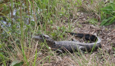 We also saw baby alligators...
