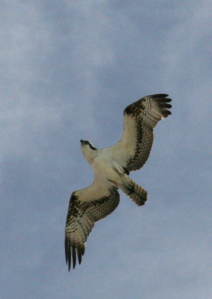 There were osprey e-ver-y-where!