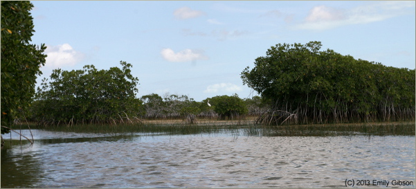 Don't these red mangrove look like many-legged animals? Like millipedegroves?