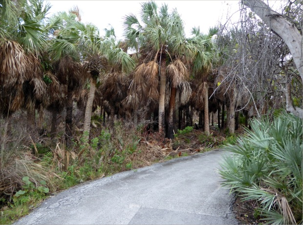 Sable palmettos, Jan 2016